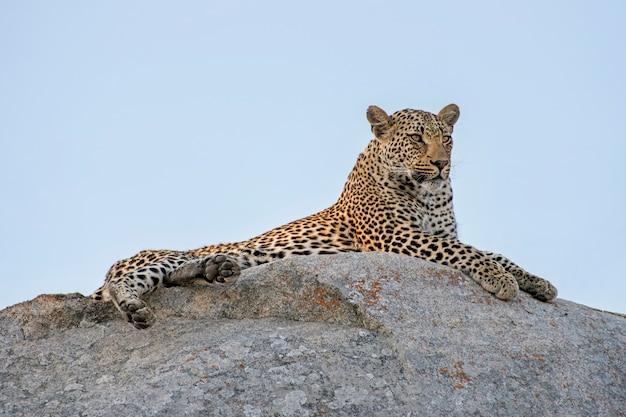 Leopardo macho deitado sobre uma rocha