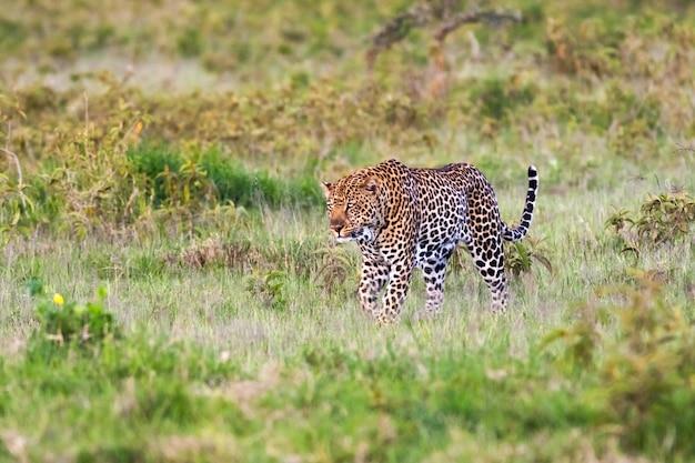Leopardo muito grande no mato. nakuru, quênia