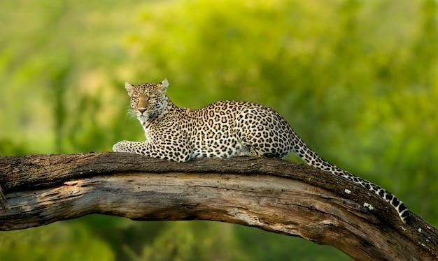 Leopardo na reserva nacional do serengeti