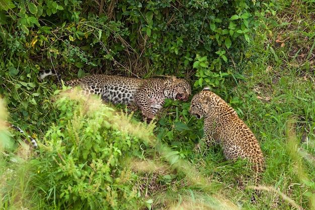 Leopardo no parque nacional masai mara, os filhos do leopardo brincam depois do jantar