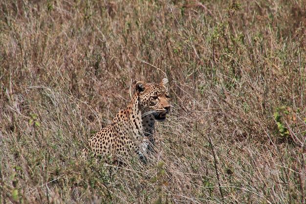 Leopardo no safari no quênia e na tanzânia, áfrica