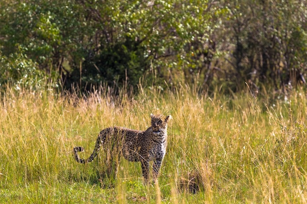 Leopardo olhando ao redor na savana. masai mara, quênia