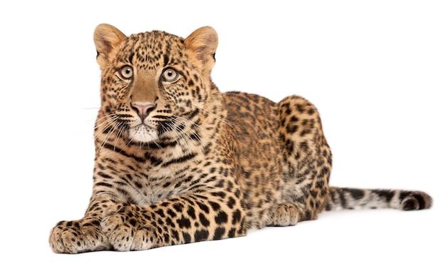 Leopardo, panthera pardus, 6 meses de idade, deitado