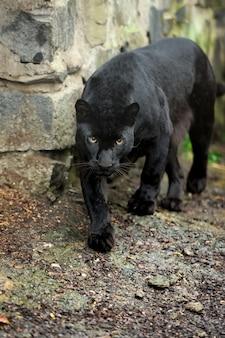 Leopardo preto