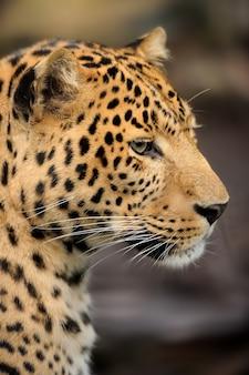 Leopardo procurando presa