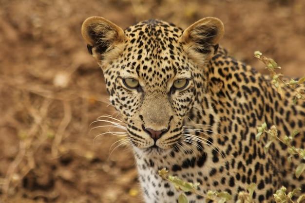 Leopardo que percorre seu território na área de concessão de khwai no botsuana na áfrica
