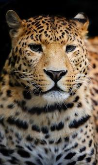 Leopardo selvagem com raiva em fundo preto
