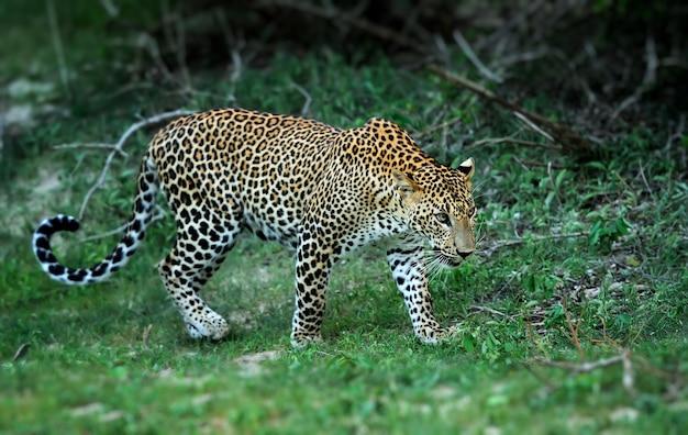 Leopardo selvagem na ilha do sri lanka