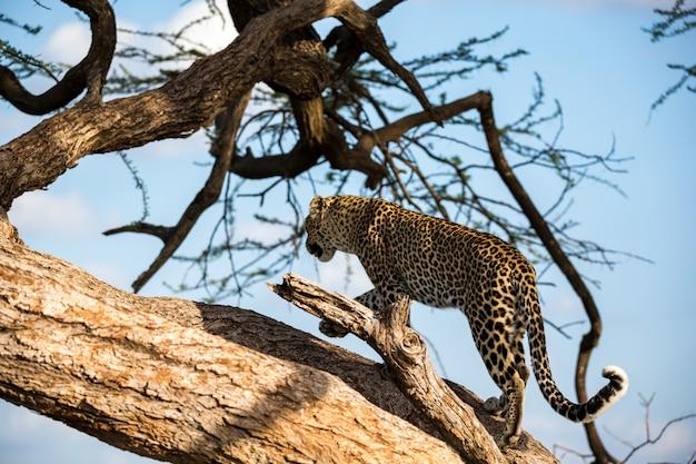 Leopardo subindo e descendo a árvore em seus galhos