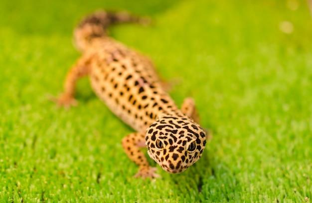 Leopardo sublethal (gecko) senta-se na grama verde em uma loja de animais na gaiola
