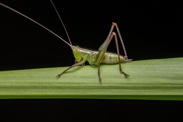 Lesser meadow katydid nymph of the genus conocephalus