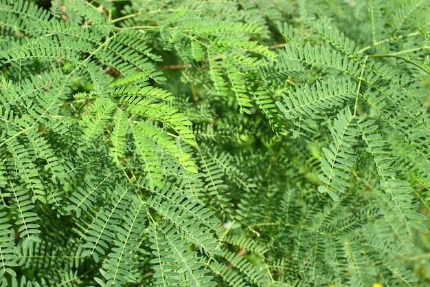 Leucaena leucocephala ou herbal ipil ipil foliar espaço