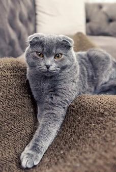 Levantamento de gato scottish fold azul