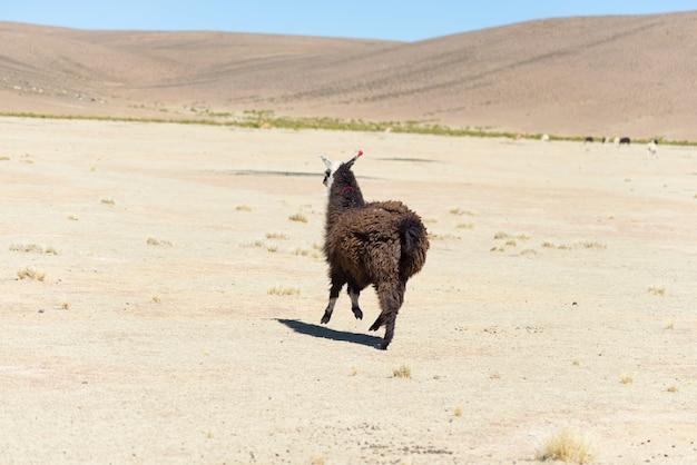 Lhama nas montanhas andinas