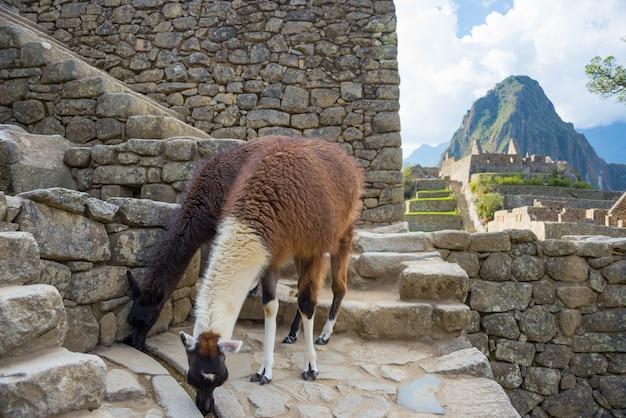 Lhamas em machu picchu, peru, o principal destino de viagem na américa do sul.