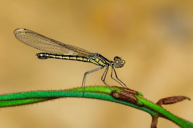Libellago lineata libélula em um galho verde