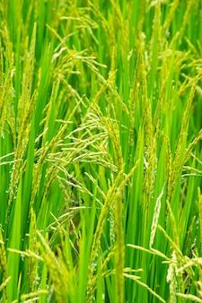 Libélula reproduzindo em campos de arroz