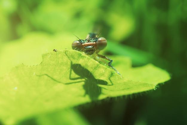 Libélula senta-se em uma lâmina verde de close-up de grama