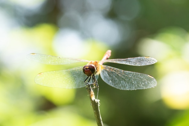 Libélula sentada em uma vara seca, vida selvagem. uma fina libélula azul senta-se em uma folha estreita de grama. fora de foco.