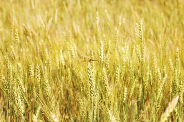 Libélula sentado na espiga de trigo. libélula próxima acima no fundo do campo de trigo borrado.