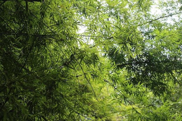 Licença de árvore de bambu, floresta