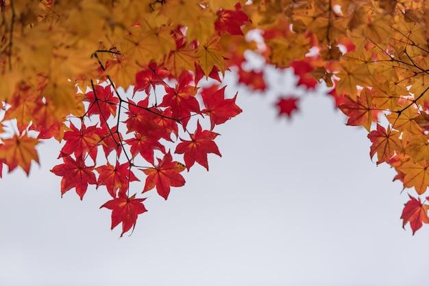 Licença vermelha e alaranjada do bordo na árvore para o fundo.