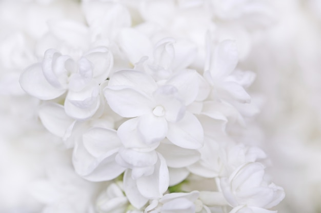 Lilás branco sobre um fundo claro.