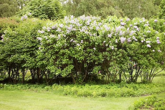 Lilás no jardim