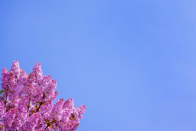 Lilás roxo no fundo do céu azul. copie o espaço