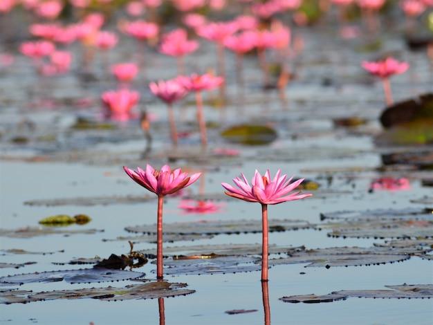 Lilly de água de florescência e seu reflexo na água
