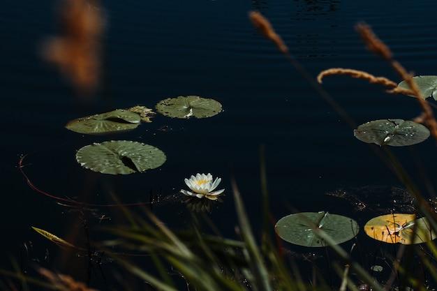 Lilly flutuando em uma lagoa calma em minnesota