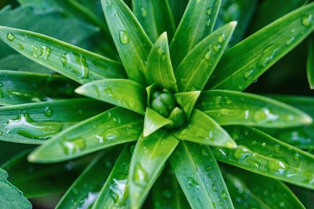 Lily close-up, gotas de orvalho nas folhas, fundo verde natural