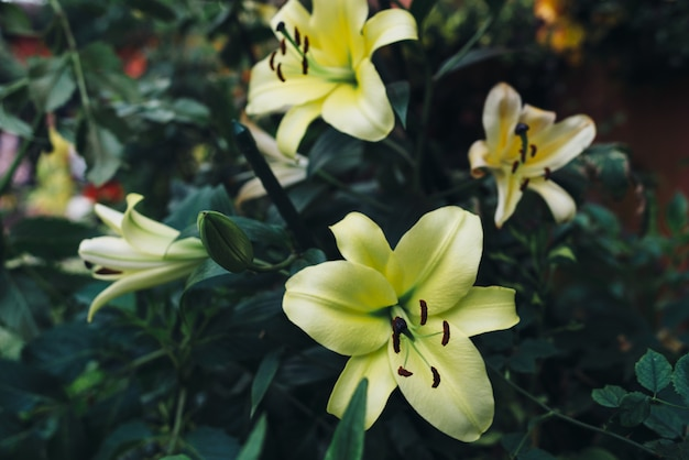 Lily flores amarelas