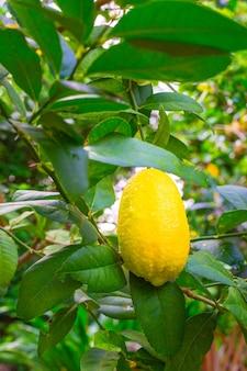 Limão amarelo brilhante cresce em uma árvore em um jardim tropical, fruta azeda rica em vitamina c