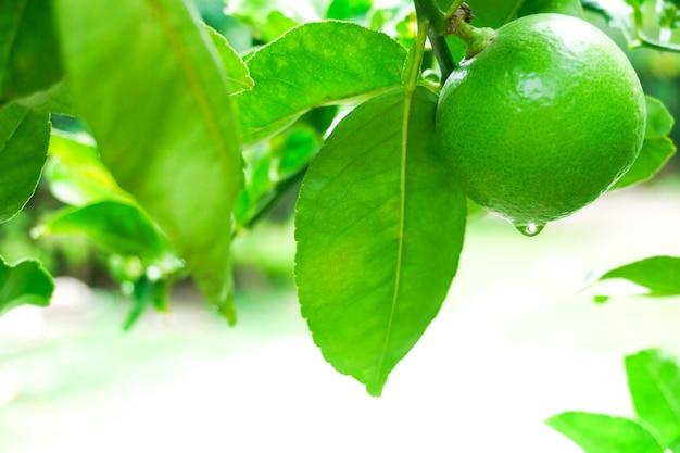 Limão cru fresco de limas verdes penduradas em uma árvore com uma gota d'água no jardim, cultivo de limas