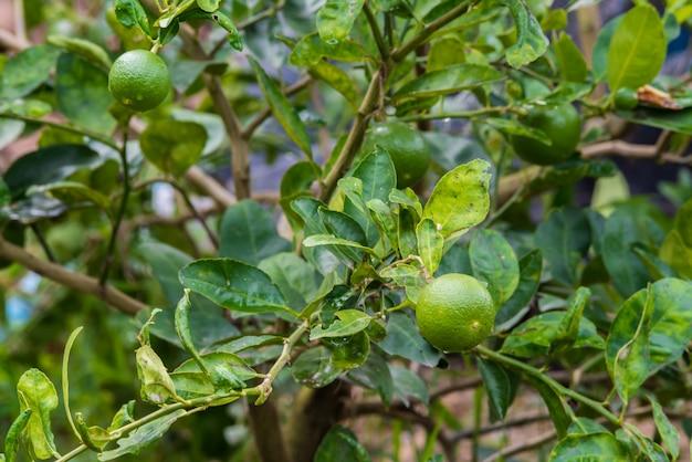 Limão fresco na limeira