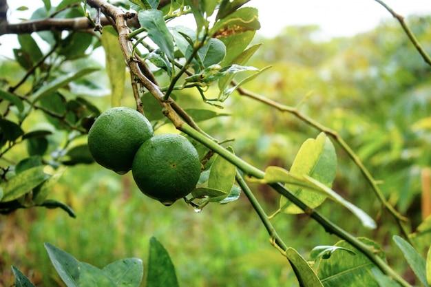 Limão na árvore.