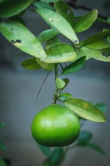 Limão pendurado em um galho de árvore