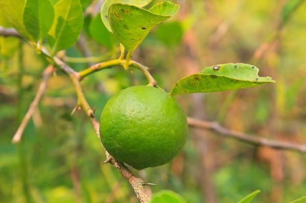 Limão verde no limoeiro na fazenda orgânica