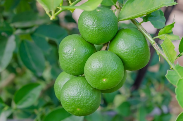 Limeira com frutas