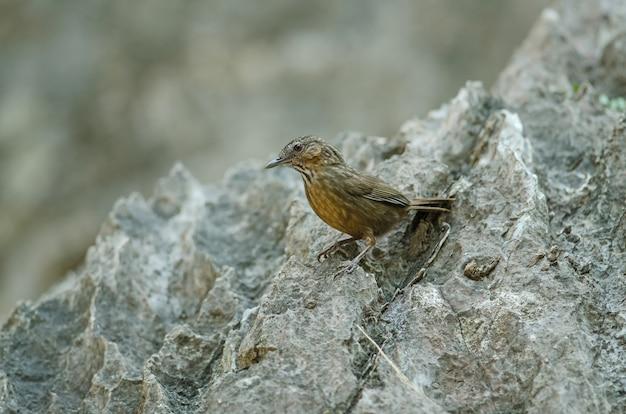 Limeira-tagarela, rufous limestone-tagarela
