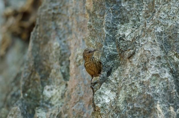 Limestone carriça-tagarela, rufous limestone-tagarela (turdinus calcicola) na natureza tailândia