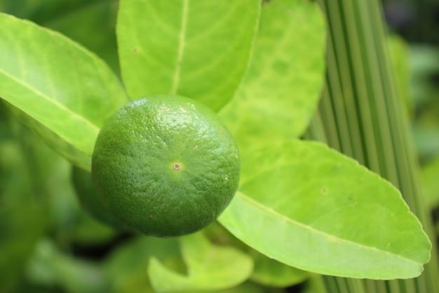 Limões árvore tropical
