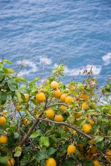 Limões frescos amarelos pendurados em uma árvore em um pomar de frutas na superfície azul do mar