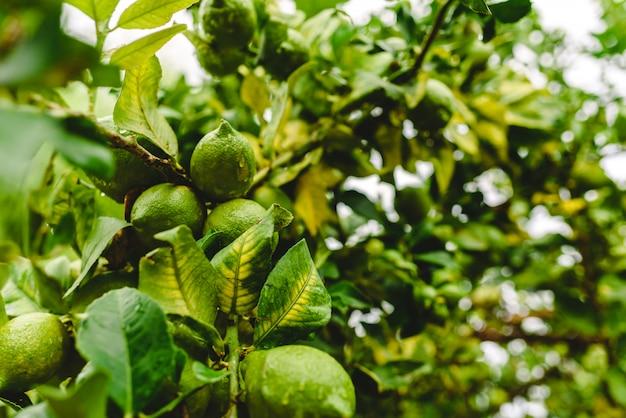 Limões verdes que penduram da árvore de limão em um dia chuvoso.