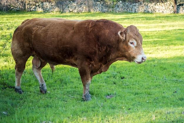 Limousin marrom cown no campo