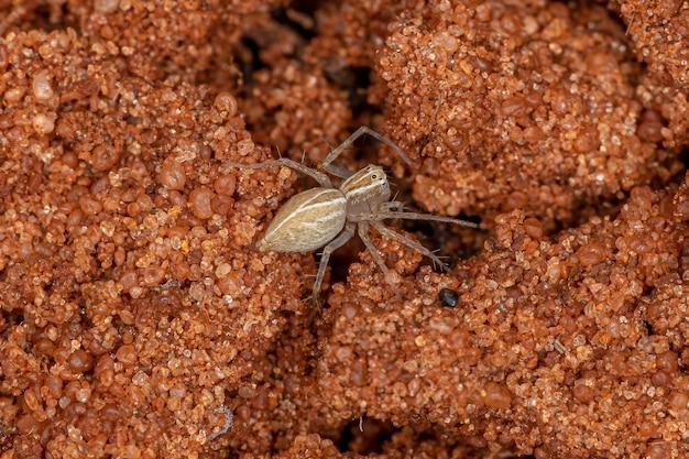 Lince-aranha listrado do gênero oxyopes