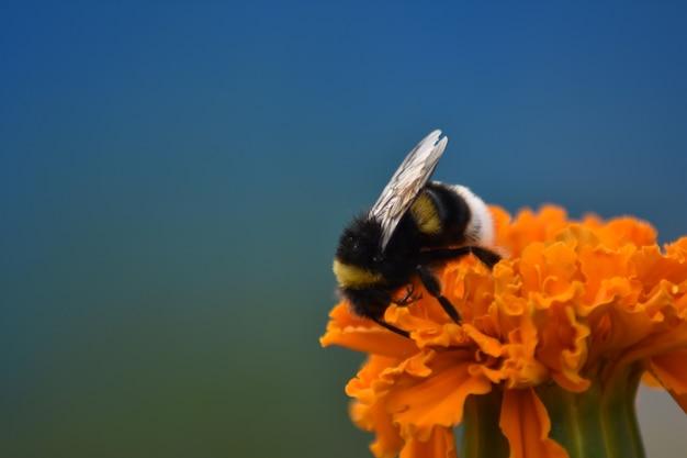 Linda abelha peluda poliniza a flor