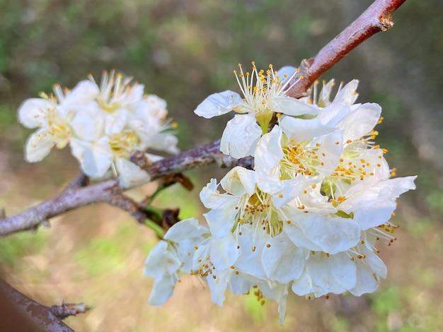 Linda ameixa chinesa florescendo em cor branca na primavera na árvore