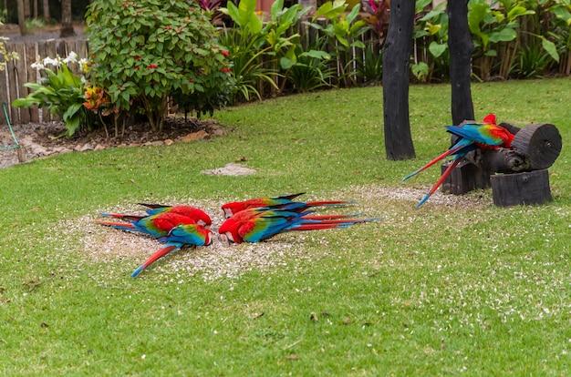 Linda arara vermelha no pantanal brasileiro